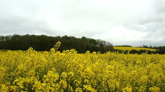 Rapeseed field. - stock footage