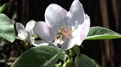 Bee on a quince flower Stock Footage