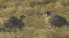 Sharp Tail Grouse cooling off by flexing throat - stock footage