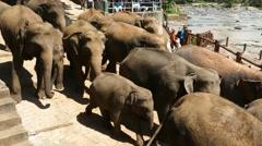 Elephants walking to river in Sri Lanka 4k Stock Footage