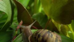 Snail sliding over leaf. - stock footage
