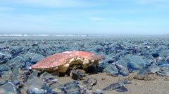 Crab and Jellyfish Washed Up 2 Stock Footage