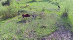 Several cows nipping the grass. Aerial Stock Footage