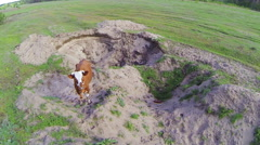 Brown curious cows. Aerial view - stock footage