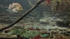 Rockfish and Lingcod Stock Footage