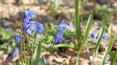 Blue snowdrops ( bluebell ) - first spring flowers in the sunshine Stock Footage