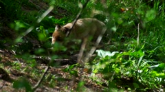 Young fox puppies in the forest Stock Footage