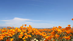 3 Axis Motion Control Time Lapse of Wild California Poppy Stock Footage