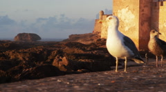 Seagull close up Stock Footage