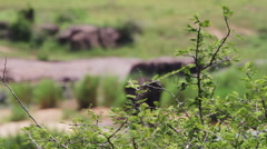 Wild elephant in South Africa Stock Footage