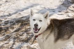 Huskies in nursery for dogs on Kamchatka - stock photo