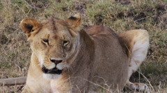 Close up of a female lion Stock Footage
