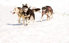 Huskies running in a team in the spring Stock Photos