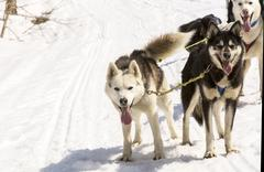Huskies running in a team in the spring - stock photo