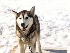 Kamchatka  Huskies in nursery for dogs - stock photo