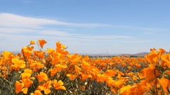 3 Axis Motion Control Time Lapse of Wild California Poppy -Long Shot- Stock Footage