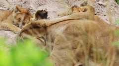 A lioness rests with her cubs Stock Footage