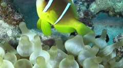 Clown Anemonefish in Coral Reef Stock Footage