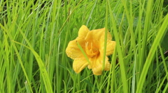 Yellow flower, static close up - stock footage