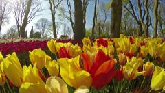 Overfly a variety of yellow & red tulips Stock Footage