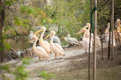beautiful water bird Pink-backed Pelican - stock photo