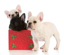 Christmas puppies - three french bulldogs in seasonal setting on white backgroun Stock Photos