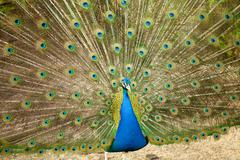 Portrait of Peacock with Feathers Out Stock Photos