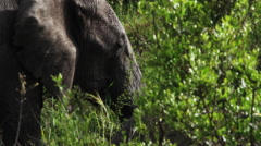 Close up of an elephant eating Stock Footage