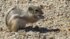 Antelope squirrel 1262 Stock Footage