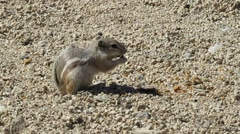Antelope squirrel 1263 Stock Footage