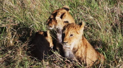 Lion cubs, close up Stock Footage