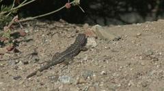 Lizard Fleeing Stock Footage