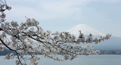 Mount Fuji through cherry branch 4k color graded (4000x2160) Stock Footage