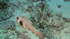 Pufferfish on Coral Reef Stock Footage