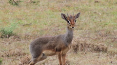 A young gazelle looks at camera Stock Footage