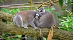 Pair of Ring-Tailed Lemurs Grooming Each Other at the Zoo Stock Footage