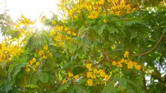 Yellow Flame Tree fluttering and swaying in a moderate breeze in Thailand Stock Footage