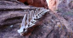 Animal Bones in a Red Rock Wilderness Landscape Savage Track In Stock Footage