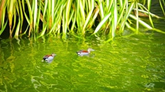 Colorful Ducks with Patterned Plumage Swimming on a Garden Pond Stock Footage