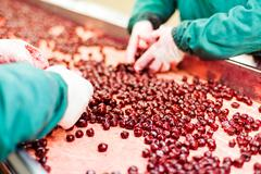 sour cherries in processing machines - stock photo
