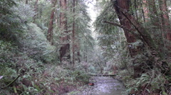 Muir woods Stock Footage