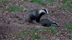 Family of European Badgers Digging and Playing Stock Footage