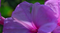 Pink Purple Flower Pollination by a Green Insect, Four O'Clock Stock Footage