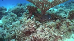 Murena on Coral Reef Stock Footage