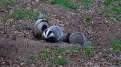 Family of European Badgers Digging and Playing - stock footage