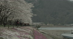 Cherry festival lake Kawaguchi 4k  non color graded (4000x2160) 11 Stock Footage