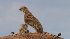 A cheetah and her cub on top of a rock - stock footage