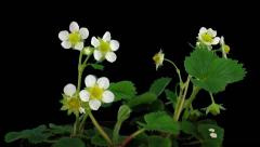 Time-lapse of blooming strawberry in RGB + ALPHA matte format Stock Footage