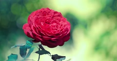 Beautiful red rose flower in garden, closeup. 4K UHD. - stock footage