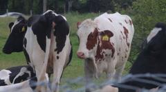 Herd of cows Stock Footage